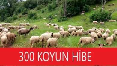 Photo of 300 Koyun Hibe Şartları, Proje Hakkında Bilgi