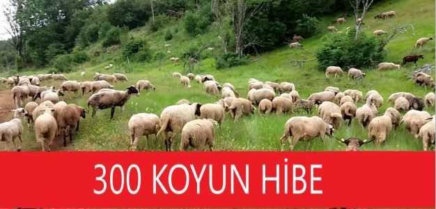 300 Koyun Hibe 1