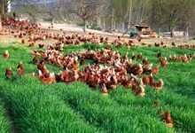 Photo of Tavuk Yetiştiriciliği İle Para Kazanmak