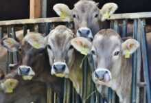 Photo of Hayvancılık Teşviki Nedir, Nasıl Alınır?